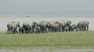Elephants-herd
